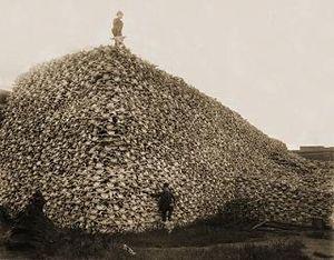 bison_skulls