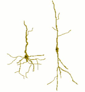 spindle_neurons