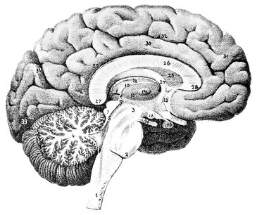brain_anatomy