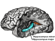 hippocampus minor, seat of human-ness?