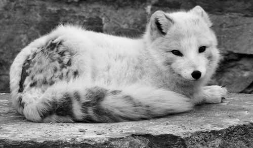 """I'm an arctic fox! I'm an adorable marauding jerk who will steal all your shit."""