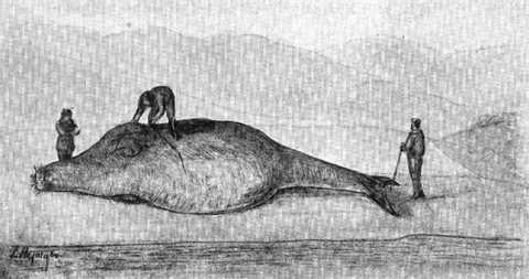 the Steller sea cow was huge.