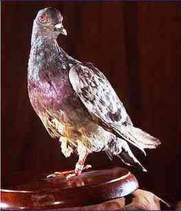 the heroic pigeon